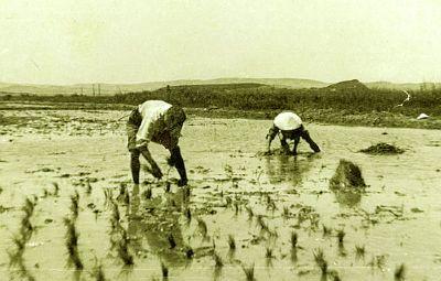 Culture du riz en Camargue par des riziculteurs indochinois