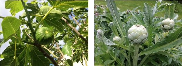 Voici des figues et des artichauts (atiso en vietnamien !) dans le jardin