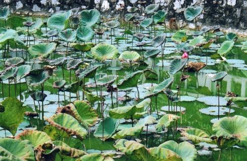 Nam Dinh - Bassin de lotus