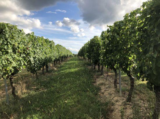 Dans les vignes du Bordelais