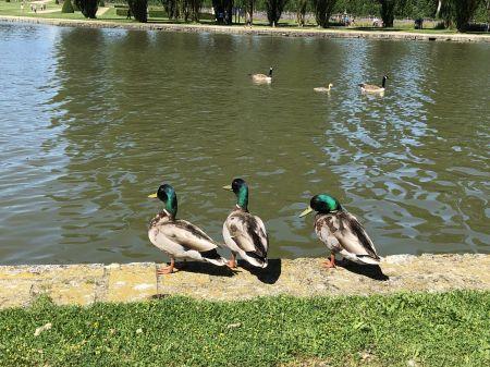 Canards col-vert