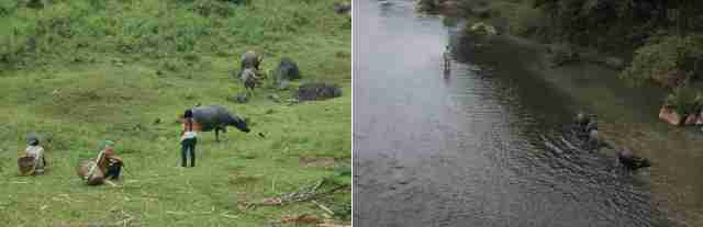 Des femmes thaïs gardent les buffles. La nuit tombe - Un paysan ramène ses bêtes au village