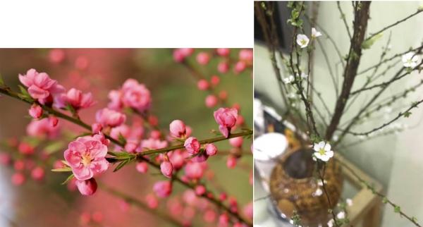 Dans chaque maison, on célèbre, en famille, le retour du printemps avec des arbustes en fleurs