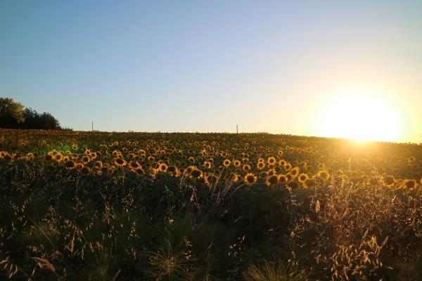 Spectacle à 21h : coucher de soleil sur un champ de tournesol en fleurs